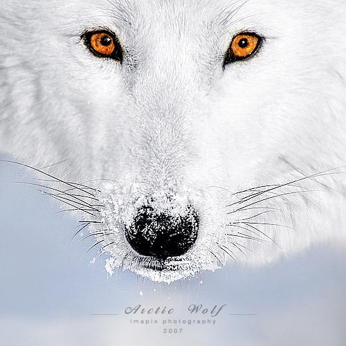 White chó sói, sói