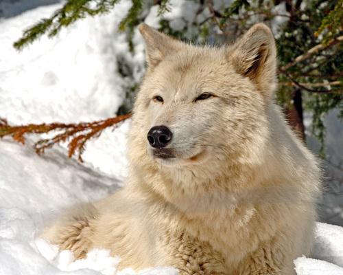 Wolf Seth