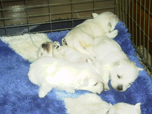 Westies वॉलपेपर possibly containing a great pyrenees and a kuvasz, कुवाज़ called पिल्लें