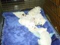 puppies - westies photo