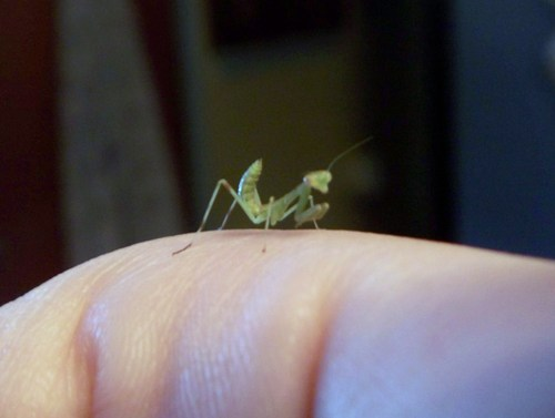 Baby Prey Mantis  - praying-mantises Photo
