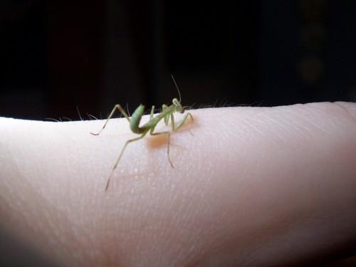 Baby Prey Mantis