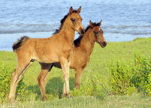 Wild Baby Ponies - maryland Photo