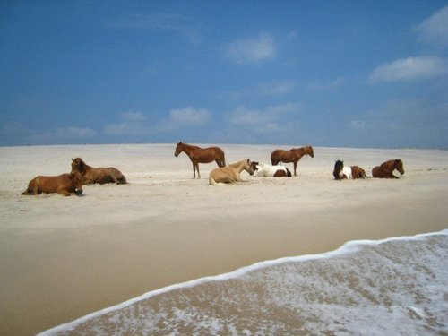 Wild ponies of Assateague island - maryland Photo