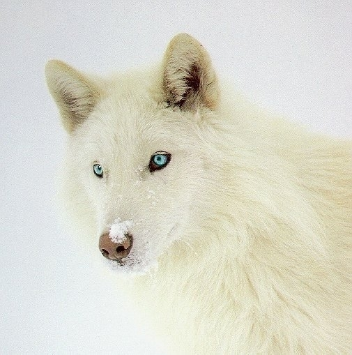 Beautiful white wolf with blue eyes wolves photo 6880194 fanpop