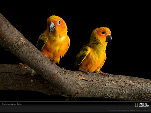National Geographic پیپر وال possibly with a lovebird, a cockateel, and a parakeet entitled Birds