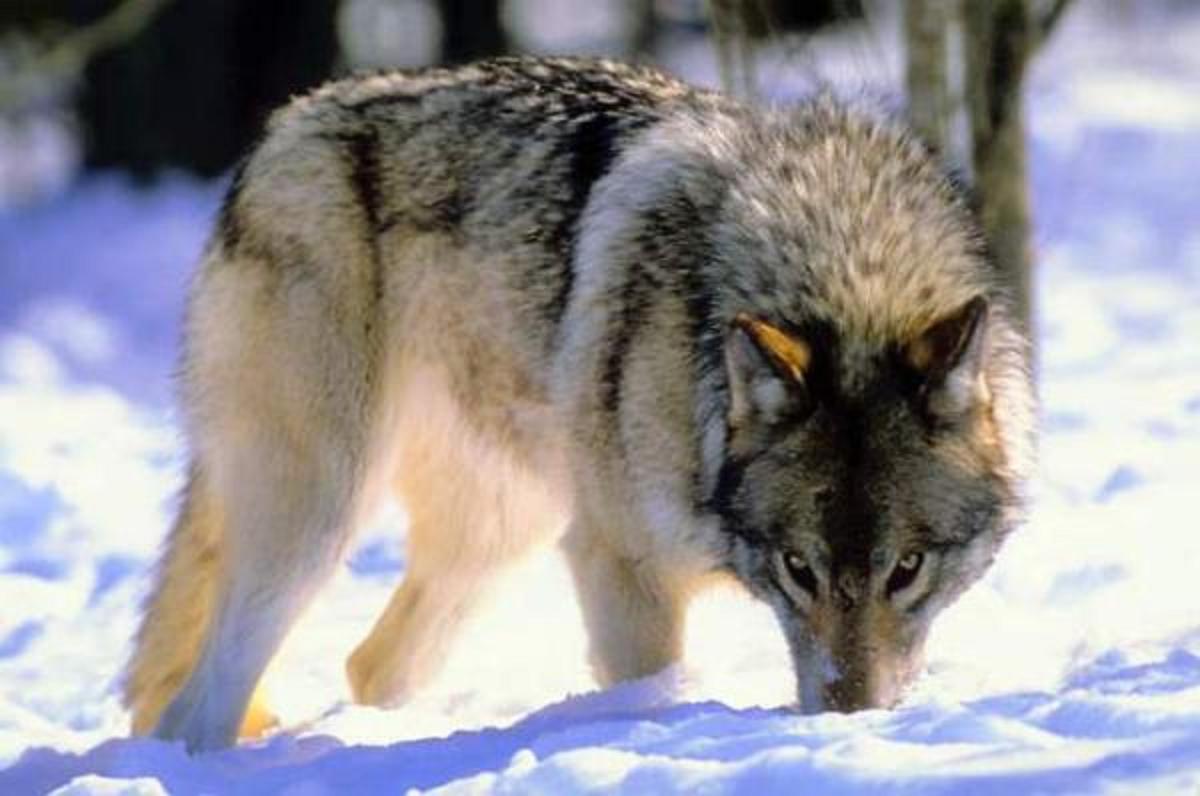 Save the alaskan wolves alskan wolf