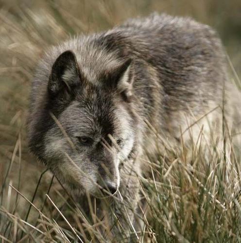 alskan serigala