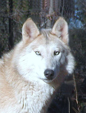 Alskan wolf save the alaskan wolves photo