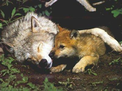 alskan lobo