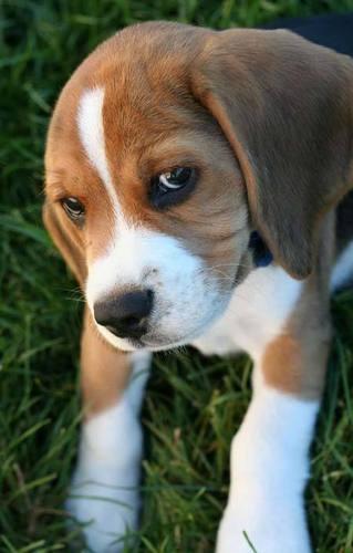 beagle :D