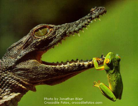 Crocodile-Frog
