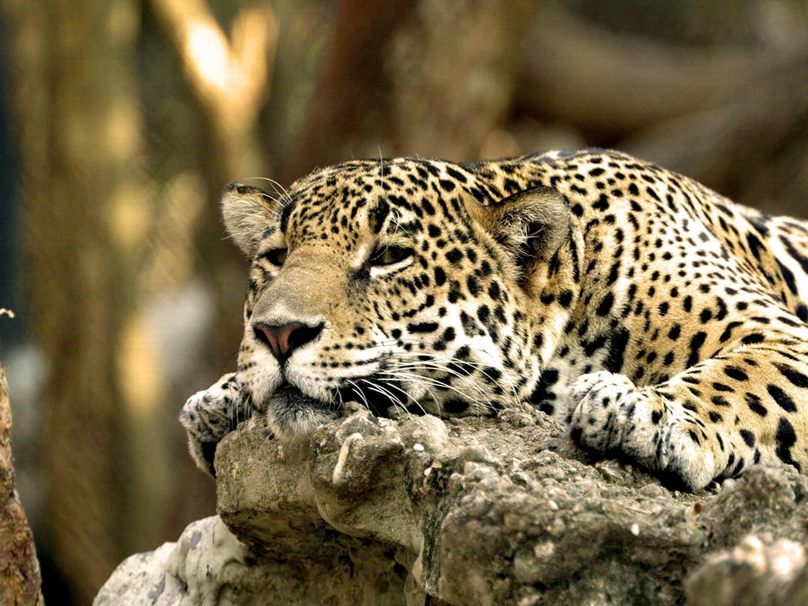 Foto Kafshesh - Faqe 2 Felines-national-geographic-6909280-1600-1200