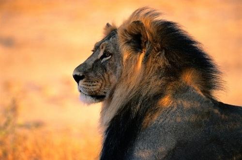 National Geographic Обои entitled Lion