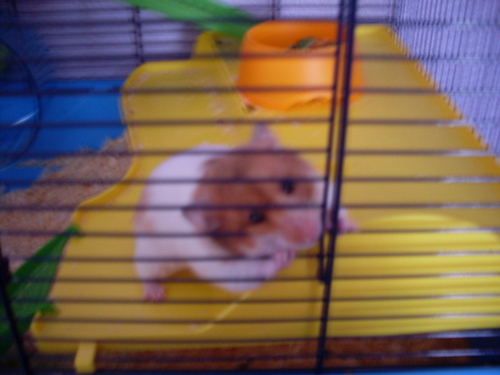 Hamsters wallpaper possibly with a hamster and a mouse called My cute hamster nibbles :)