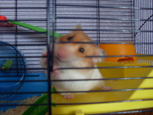 My cute hamster nibbles :)