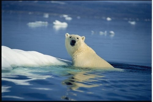 Polar 곰