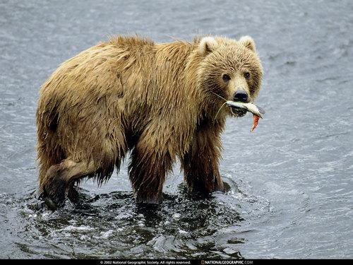 Polar chịu, gấu