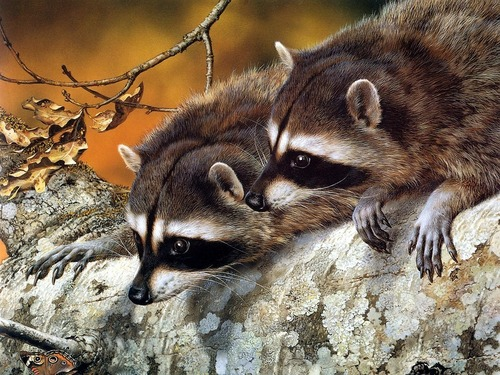 National Geographic Обои entitled Raccoons