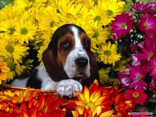 Basset Hound Wallpaper - dogs Wallpaper