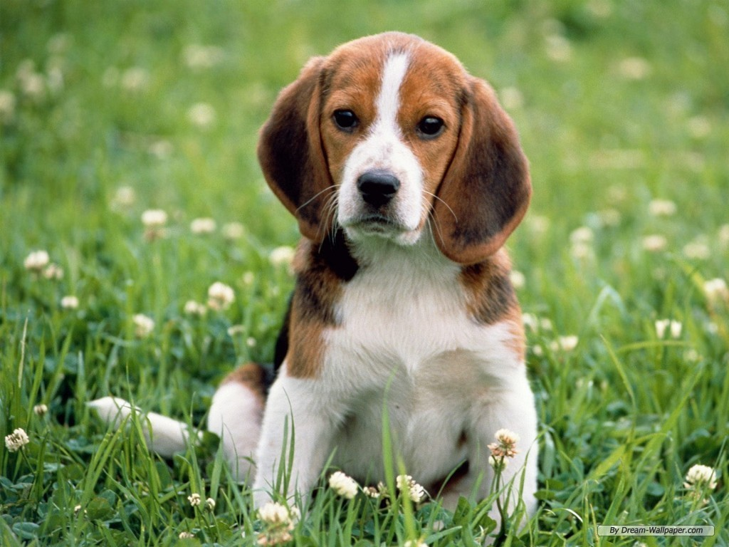Beagle top dog breeds for Best dog breed for you