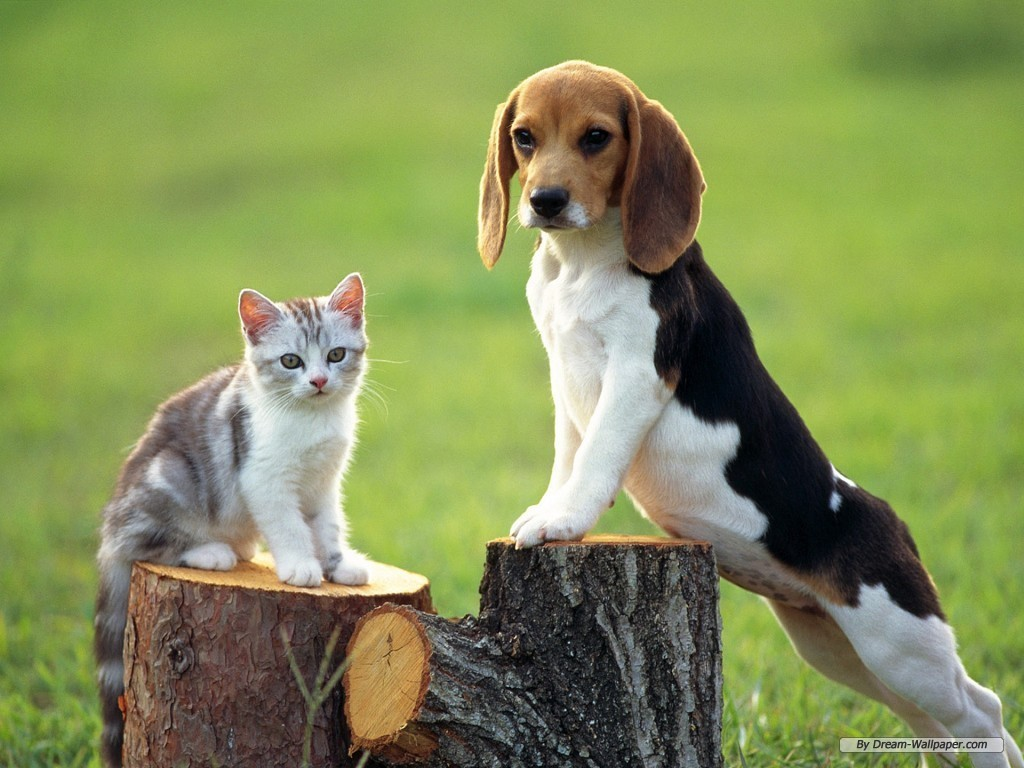 Dogs beagle wallpaper
