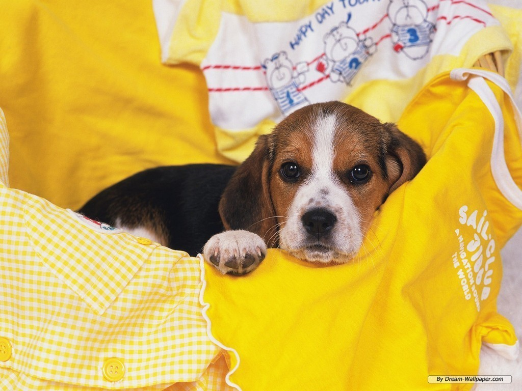 Beagle Wallpaper - Dogs Wallpaper (7013962) - Fanpop