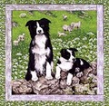 Border Collies Portrait