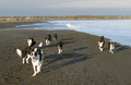 Border Collies On The Beach