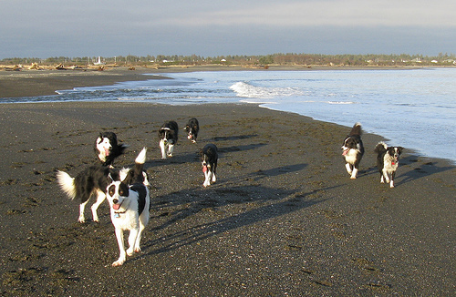 Border Collies On The ビーチ