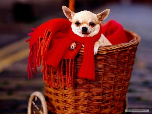Aso wolpeyper containing a wicker basket and a chihuahua titled chihuahua wolpeyper