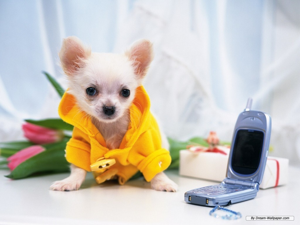 Chihuahua Wallpaper - Dogs Wallpaper (7013877) - Fanpop fanclubs