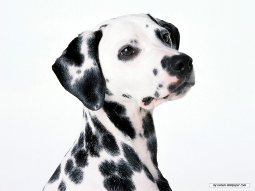 Dalmation wallpaper