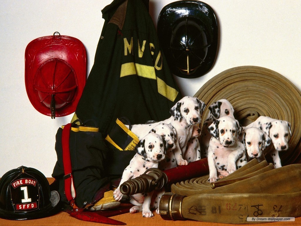 http://images2.fanpop.com/images/photos/7000000/Dalmation-Wallpaper-dogs-7014061-1024-768.jpg