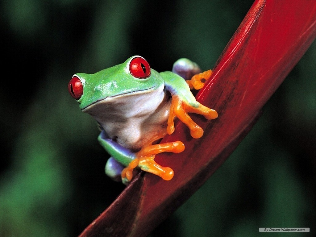 Frogs Images Frog Wallpaper HD And Background Photos