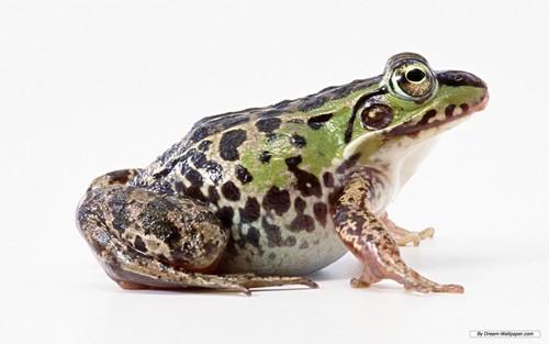 Frog Wallpaper!