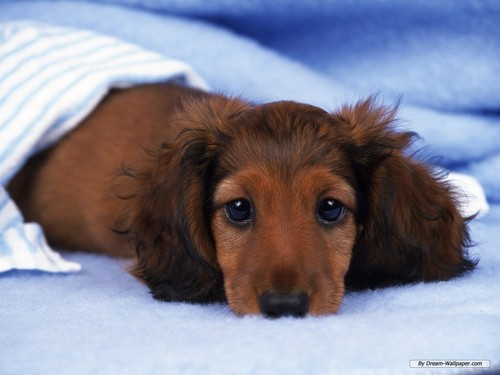 Mini Dachshund Wallpaper