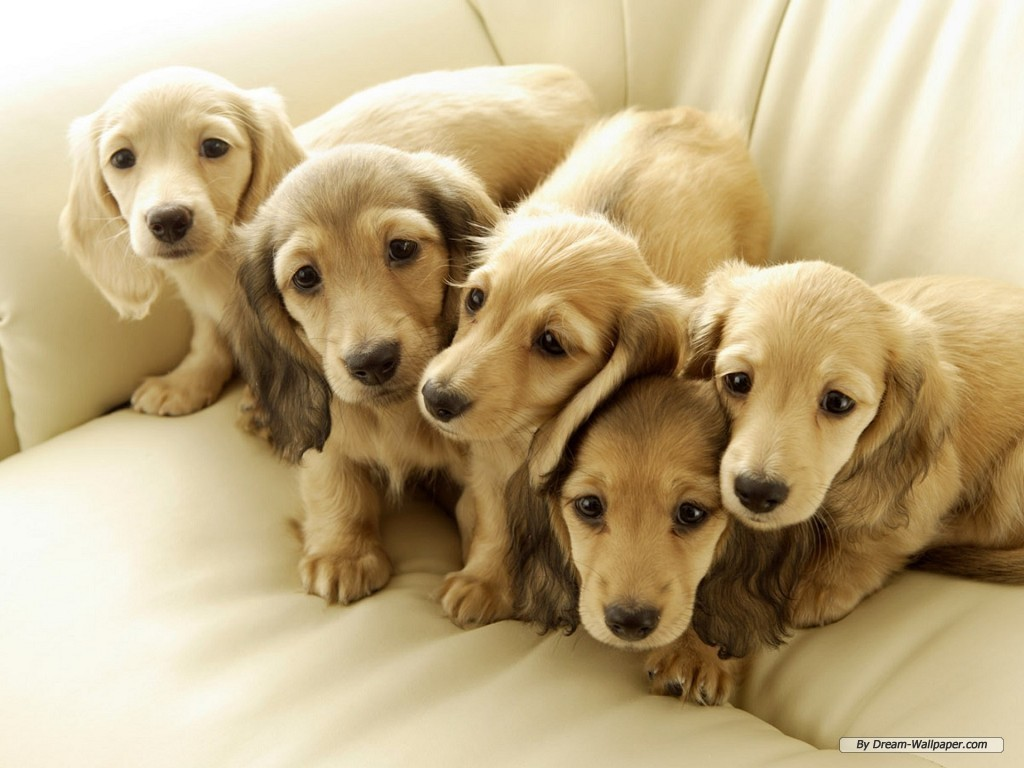 Cute Mini Dachshund Puppies