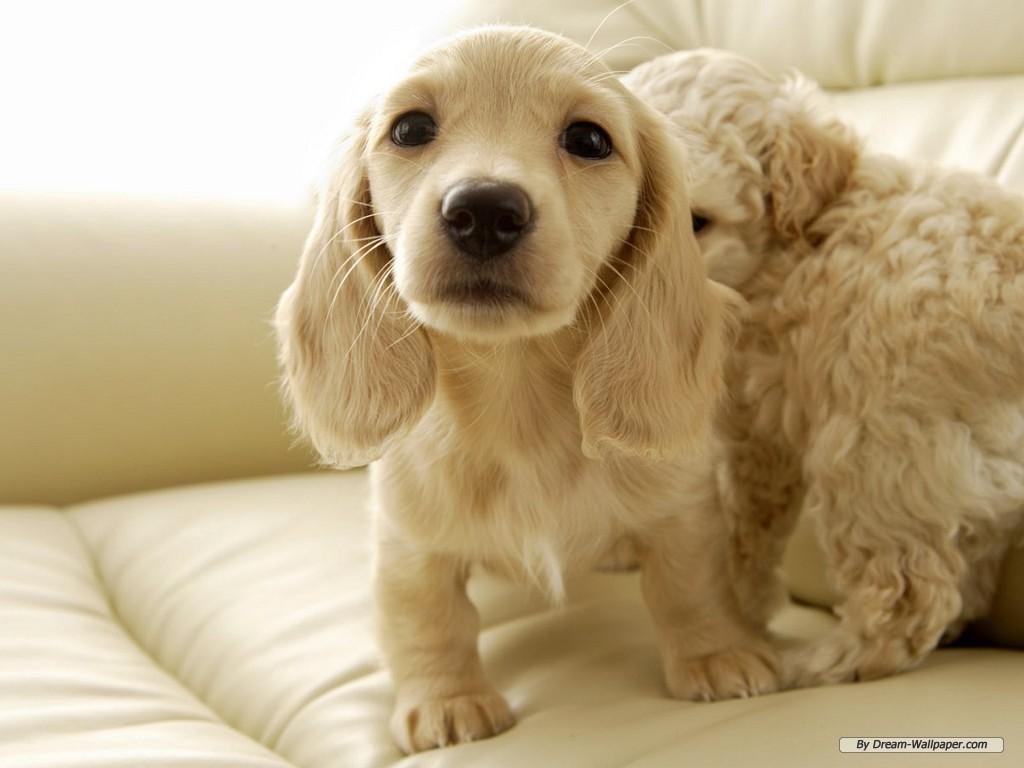 Dachshund Dog Breeds