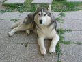 Nanuk - siberian-huskies photo