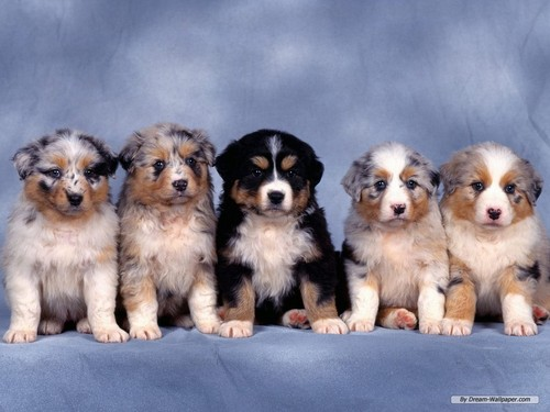 Dogs wallpaper entitled Puppy Wallpaper