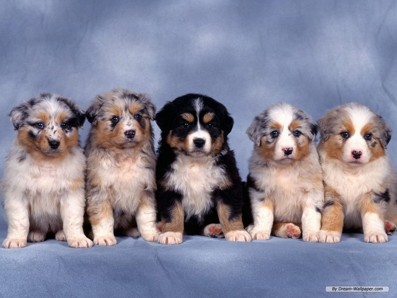 Puppies And Dogs Wallpapers. Puppy Wallpaper - Dogs