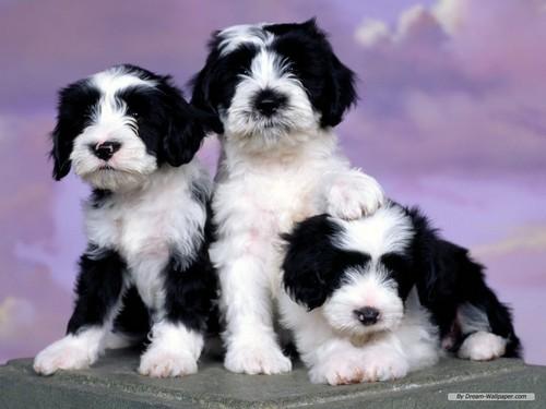 puppy achtergrond