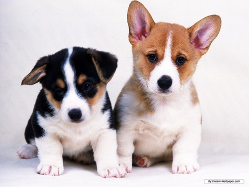 cachorro, filhote de cachorro wallpaper