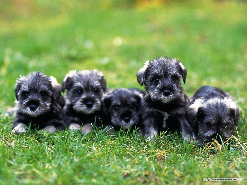 Miniature Schnauzer Dogs Wallpaper