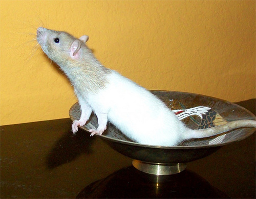 rat in a Bowl