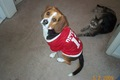Smeeg @ 2 yrs old. aww I want another baby!! - beagles photo