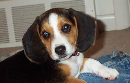 Smeogle my Beagle