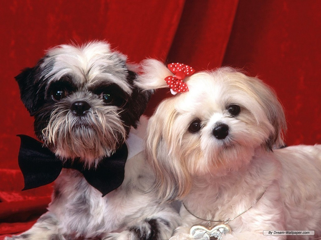 Toy Dog Wallpaper  Dogs Wallpaper 7014194  Fanpop