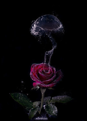 Water wallpaper called Water rose